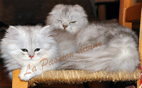 http://www.la-passiondivine.fr/images/chaton09/fhs1p.jpg